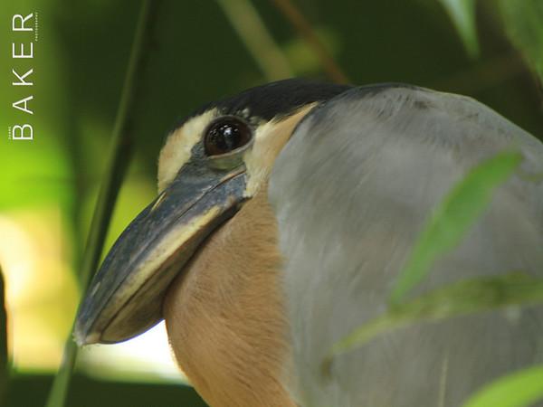 Boat Billed Heron, Costa Rica