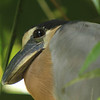 Boat Billed Heron, Costa Rica