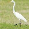IMG_9846 - Egret, Scurry, Texas