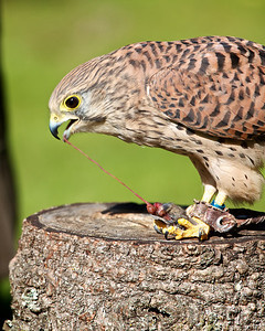 Kestrel eating a mouse