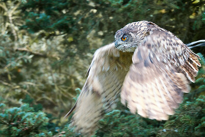 European Eagle Owl taking off after prey