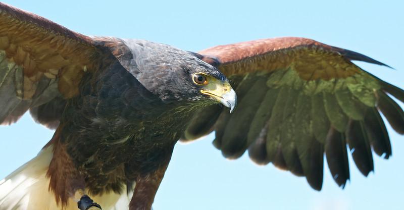Harris Hawk in Flight