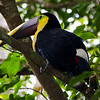 Chestnut-mandibled Toucan (Ramphastos swainsonii) or Swainson's Toucan