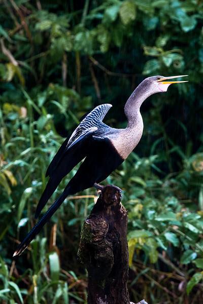Anhinga (Anhinga anhinga) or Snakebird, Darter, American Darter, Water Turkey, Snake Bird, Devil Bird
