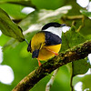 White-collared Manakin (Manacus candei) male
