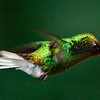 Coppery-Headed Emerald (Elvira Cupreiceps) Hummingbird