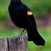 Red-winged Blackbird - male (Agelaius phoeniceus)