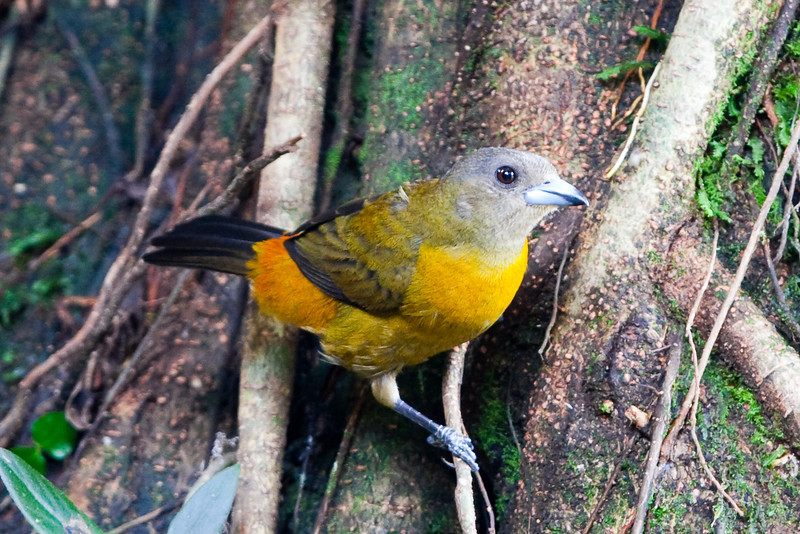 Passerini's Tanager - Female (Ramphocelus passerinii) a.k.a. Scarlet-rumped Tanager