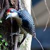 Black-cheeked Woodpecker (Melanerpes pucherani)