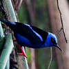 Red-legged Honeycreeper - Male (Cyanerpes cyaneus)