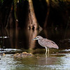 Black-crowned Night Heron (Nycticorax nycticorax) immature