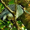 Yellow-crowned Night Heron (Nyctanassa violacea) a.k.a. American Night Heron or squawk
