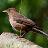 Clay-colored Thrush or Robin (Turdus grayi)