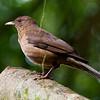 Clay-colored Thrush or Robin (Turdus grayi)