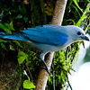 Blue-gray Tanager (Thraupis episcopus) a.k.a. Blue Jean