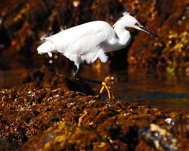 Snowy Egret, Point Dume, CA