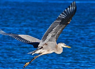 See Ya, Paradise Cove, CA Great Blue Heron