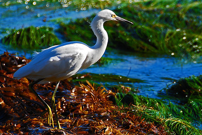 Let The Sun Shine,  Snowy Egret in Point Dume, CA