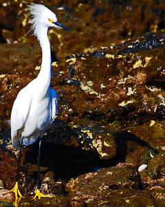 Snowy Egret at the Beach in Point Dume