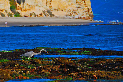 Great Blue Heron at the Beach, Point Dume, CA.  I could not believe I saw this bird at the beach because I am used to seeing them at the swamp in South Louisiana. They get around!