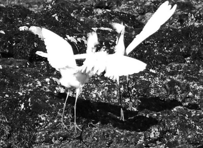 Dancing Egrets, Point Dume, CA.  Obviously, the two birds were fighting, but as you will see in the following pictures, they looked as if they were dancing. It was beautiful.