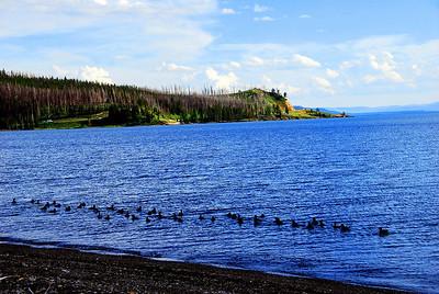 Ducks in Yellowstone Lake