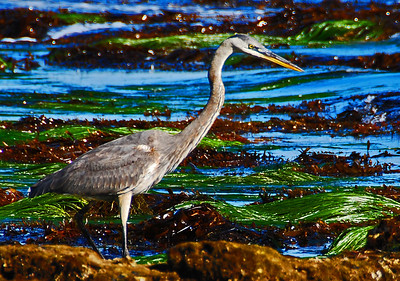 Heron at the Beach