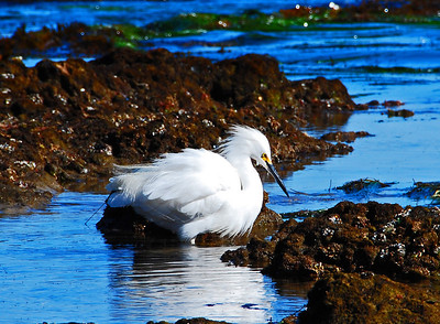 Snowy Egret, Point Dume, CA