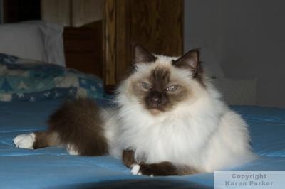 Birman Cats - December, 2009