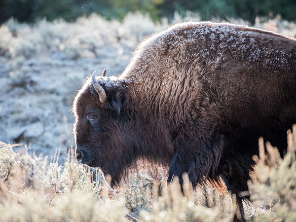 The Morning Bison