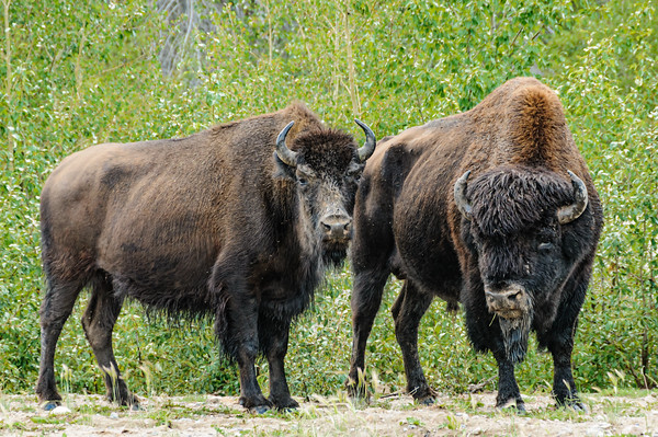 Wood Bison in NWT