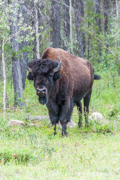 Bull Wood Bison in NWT