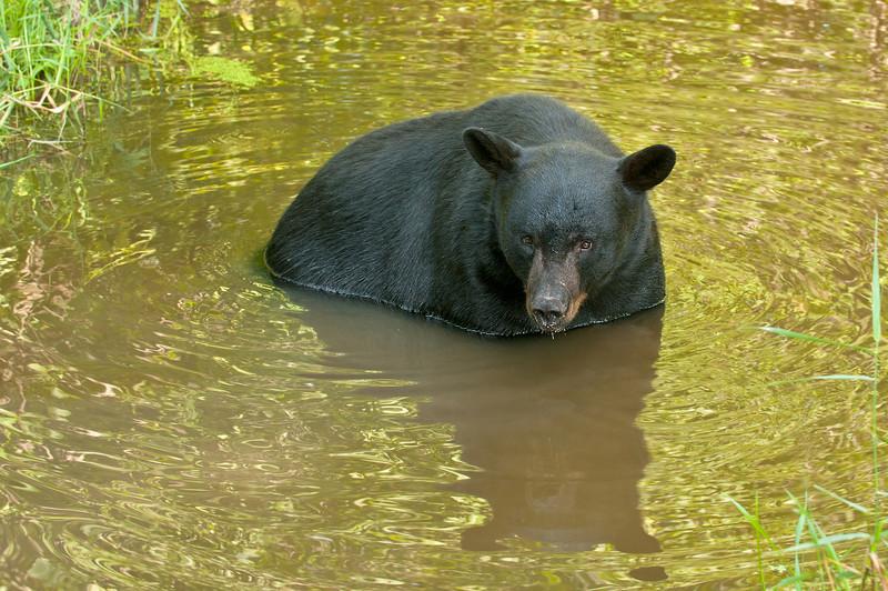 MBB-11193: Black Bear in stream