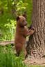 MBB-11020: Standing spring cub