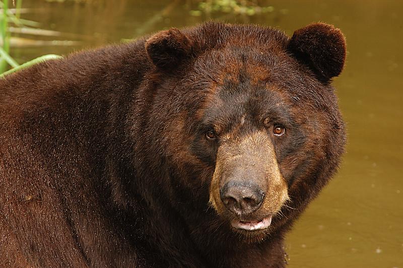 MBB-4237: Brown Phase Black Bear