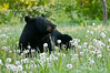 MBB-11075: Male Black Bear in the dandelions