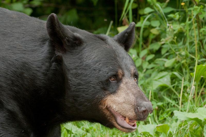 MBB-9276: Alert Male Black bear