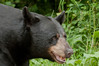 MBB-9276: Alert Male Black bear