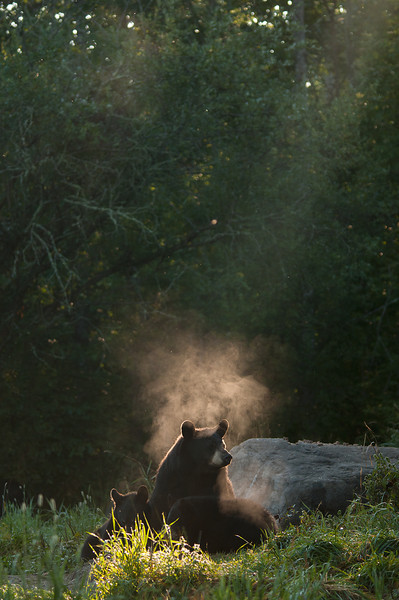 MBB-11181: Misty morning Black Bear family