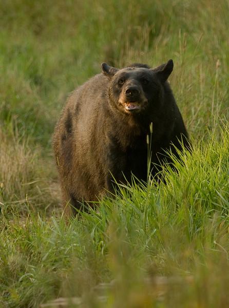 MBB-7409: Black bear at sunset