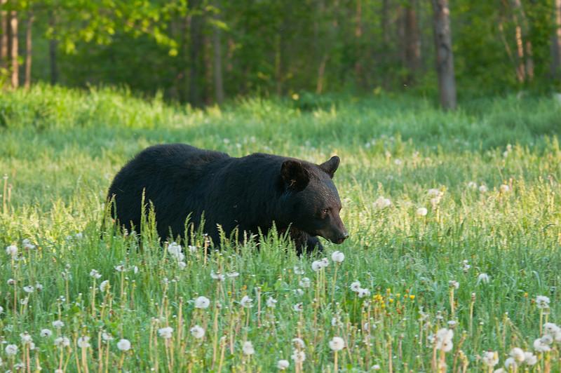 MBB-11009: Spring Black Bear