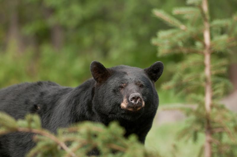 MBB-10293: Early fall black bear