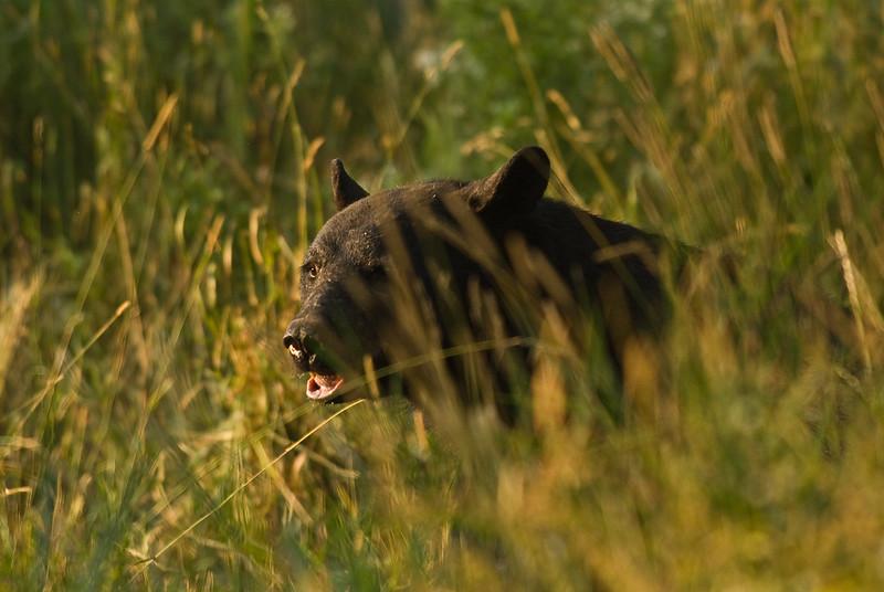 MBB-7404: Sunset Black Bear