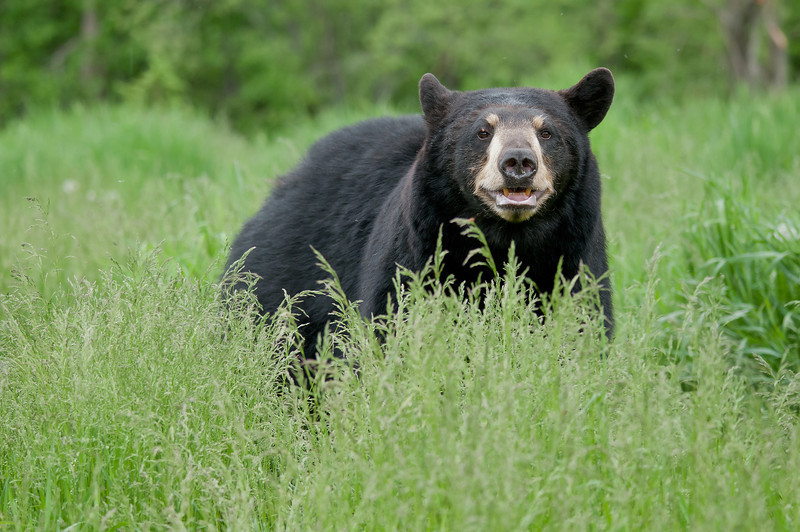 MBB-12128: Black bear in June grasses
