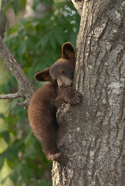 MBB-9121: Wake up time-<i>After napping this little cub opened his eyes and was trying to determine what his next venture for the day would entail.</i>