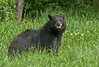 MBB-10035: Minnesota Black Bear