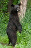 MBB-10045: Standing adult Black bear