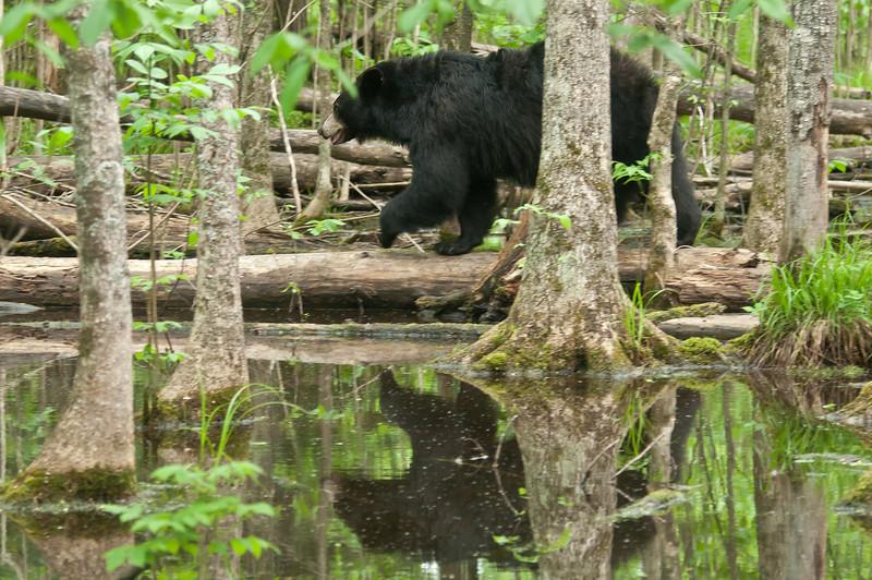 MBB-12234: Bear in swamp