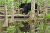 MBB-12234: Bear in swamp