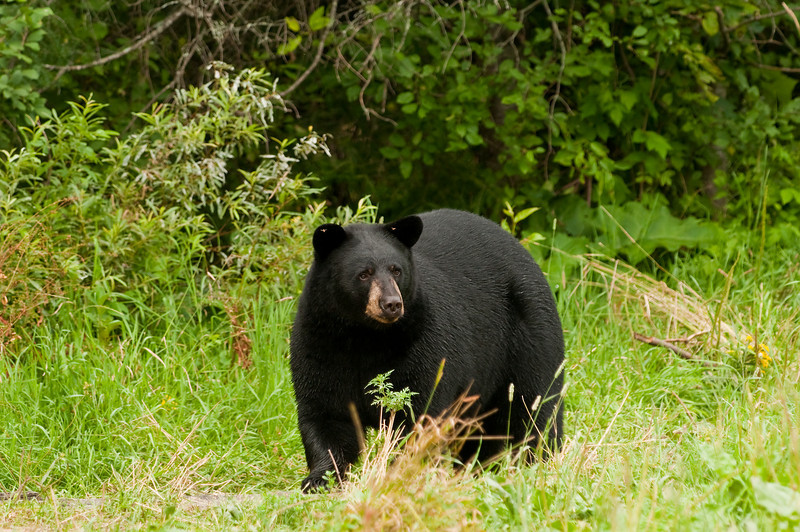 MBB-10217:Black bear in early fall
